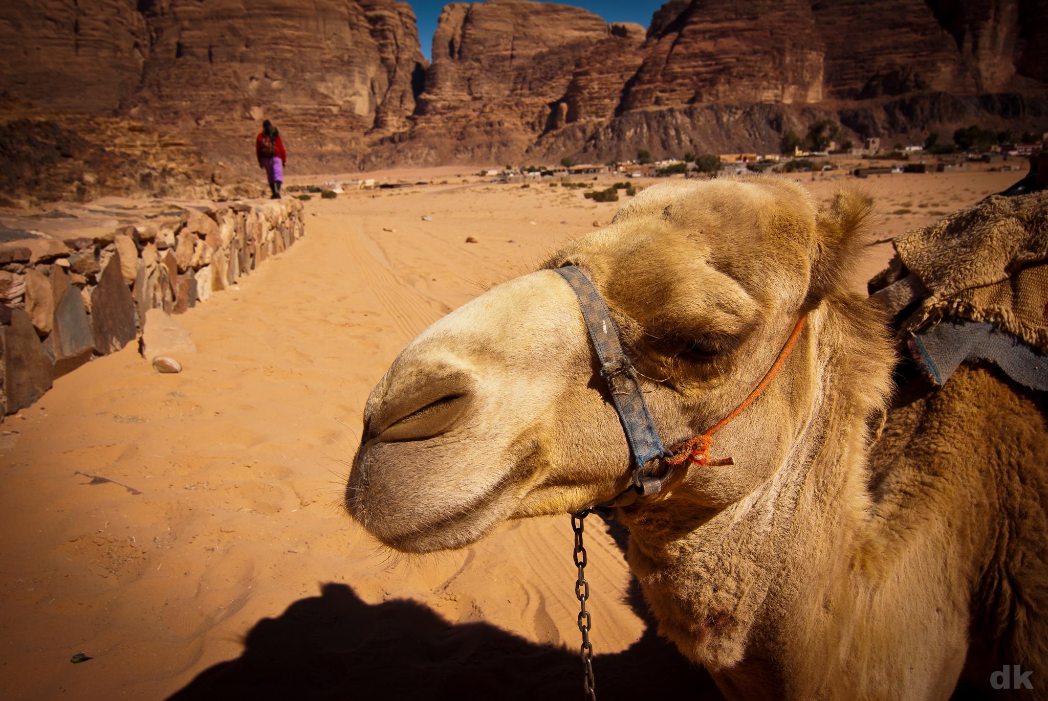 Camel at Wadi Rum, Jordan